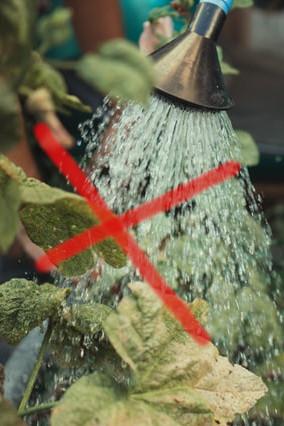 ne pas arroser les feuilles