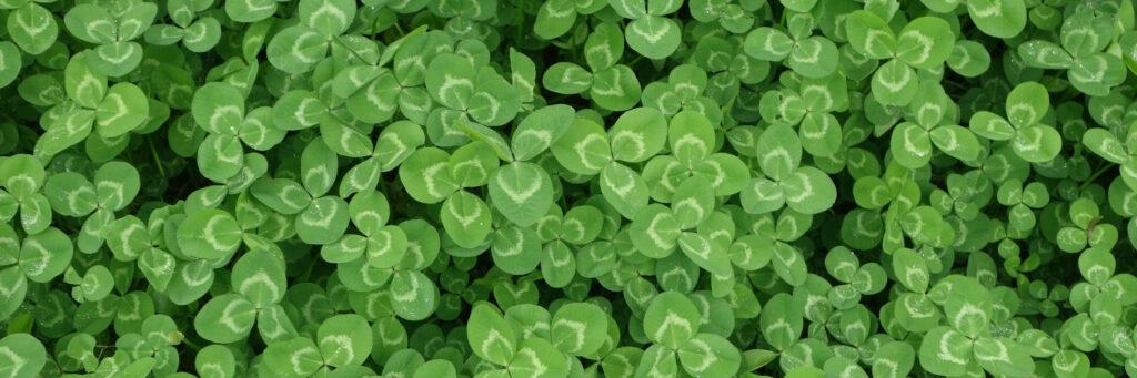 trèfle clover pelouse aleternative