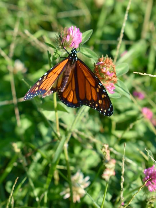 trèfle clover monarque pollinisateur